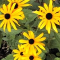 black-eye susan